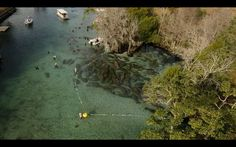 Florida's manatees loved to death  http://www.treehugger.com/natural-sciences/floridas-manatees-loved-death-timelapse-video.html