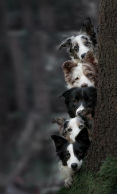 """The bottom dog and the top dog have """"The eye"""" #BorderCollie"""