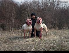 #Dogo Argentino