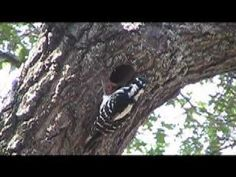 Hairy Woodpecker - 3/3 and 3/5/2012 (Home)