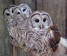 Google Image Result for http://www.urbanmystic.org/storage/BarredOwl.jpg%3F__SQUARESPACE_CACHEVERSION%3D1284487280859
