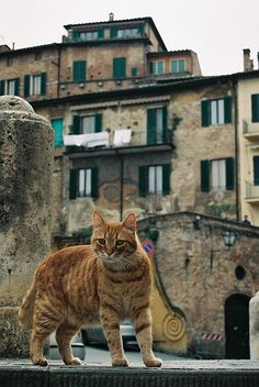 Tuscan Tabby - Siena, Italy. http://kittyflix.com