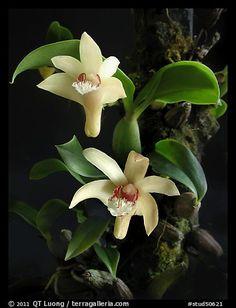 Eria rhombodais. A species orchid (color)