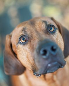 304 Best Rhodesian Ridgeback images in 2019 | Lion dog