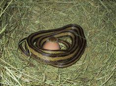 Chicken snake eating an egg