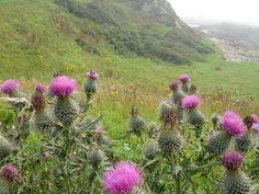 El cardo, flor nacional de Escocia.