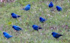 A flock of Indigo Buntings stop to feed near Lake Eufaula on a spring day. Photo by Carolyn Fletcher.