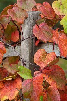 Vitis Coignetiae, de sierdruif. Heeft veel ruimte nodig, durf te snoeien. Een hele mooie herfstkleur.