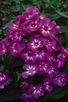 Grape Lollipop Phlox  Tasty grape-colored blooms have striking red eyes. The most mildew resistant phlox to date. Grape Lollipop will bring months of tantalizing color and delicious fragrance to the summer garden. Attracts butterflies and hummingbirds.