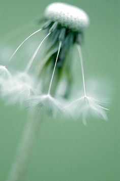 """Dancing Dandelion"" ~ By abcdinner on Flickr."