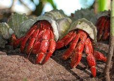 Strawberry hermit crabs. Want one so bad.