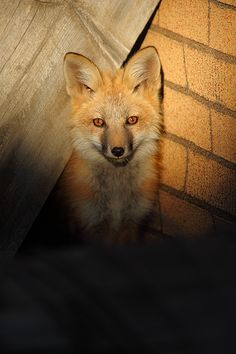 Out of the Darkness - Breckenridge, Colorado ~ fox kit peeks out of its den in an abandoned building