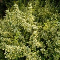 Your variegated euonymus probably have Euonymus Scale if you see white flecks on the undersides of leaves. Decking Area, Plant Design, Garden Landscaping, Perennials, Landscape Design, Emerald, Herbs, Leaves, Gardening