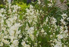 Karcsú gyöngyvirágcserje, Deutzia gracilis. Parfümösen illatos virágú, alacsony nyáron virágzó díszcserje.