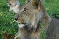 Walking with lions, Zimbabwe - www.lionalert.org