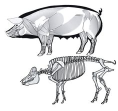 pig anatomy muscle & skeleton How to draw my Fletcher. Only with fur. Animal Sketches, Animal Drawings, Human Skeleton Anatomy, Larp, Skeleton Drawings, Animal Skeletons, Animal Anatomy, Anatomy For Artists, Animal Bones