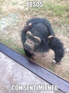 memes chistosos de chimpance - Google Search