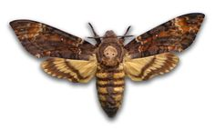 Picture of a death's head moth