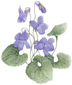 Sweet Violets Illustration