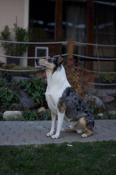 Smooth Collie, Boston Terrier, Dogs, Animals, Boston Terriers, Animales, Animaux, Animal Memes, Animal