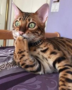 Pictures Of Cute Animals To Draw Easy the The Cutest Baby Kittens In The World unless Cute Fluffy Kittens For Sale Near Me Animals And Pets, Baby Animals, Funny Animals, Cute Animals, Animals Images, Jungle Animals, Pretty Cats, Beautiful Cats, Animals Beautiful