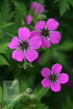 Geranium psilostemon - This vigorous Armenian cranesbill produces a mass of shallow cup-shaped, vivid magenta flowers with black centres and veins from early to late summer. It quickly forms loose hummocks of deeply cut, mid-green leaves, which turn a fabulous shade of red in autumn. An excellent plant for the middle of the border.