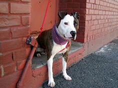 TO BE DESTROYED 5/8/14Brooklyn Center   -PMy name is MADIX. My Animal ID # is A0998062.I am a male br brindle and white pit bull mix. The shelter thinks I am about 10 MONTHS old.I came in the shelter as a OWNER SUR on 04/28/2014 from NY 11221, owner surrender reason stated was LLORDPRIVA. MOST RECENT MEDICAL INFORMATION AND WEIGHT05/06/2014 Exam Type CAGE EXAM - Medical Rating is 3 C - MAJOR CONDITIONS , Behavior Rating is EXPERIENCE, Weight 52.1 LBS.Kennel cough noted on rounds. Coughing…