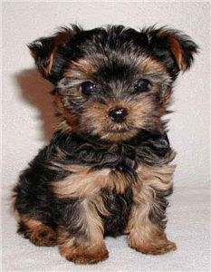 Free Yorkshire Terriers Puppies For Sale Cute Small Dogs