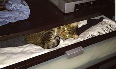 Peek a Boo! #aww #cute #cutecats #catsofpinterest #cuddle #fluffy #animals #pets #bestfriend #boopthesnoot
