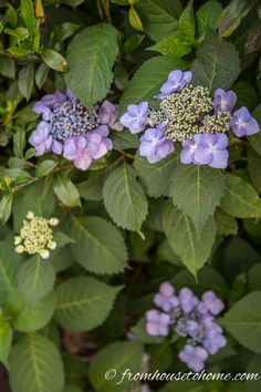Having trouble with your hydrangeas not blooming? Find out how to fix the problems so that you can grow these beautiful flowers in your garden. When Do Hydrangeas Bloom, Types Of Hydrangeas, Hydrangea Bloom, Hydrangea Not Blooming, Hydrangea Garden, Incrediball Hydrangea, Hydrangea Macrophylla, Clematis Plants, Flowers Perennials