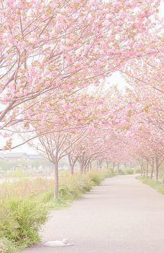 Sakura Walk, Japan Lollimobile.com
