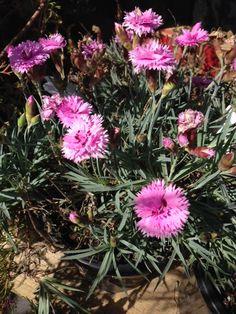 Everlast Lavender Lace Dianthus | Perennials | Pinterest ...