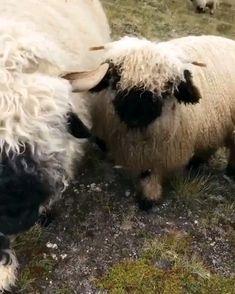 lamb animal Making friends while hiking the hills around Zermatt Switzerland. Happy Animals, Farm Animals, Animals And Pets, Funny Animals, Cute Animals, Beautiful Creatures, Animals Beautiful, Valais Blacknose Sheep, Cute Sheep