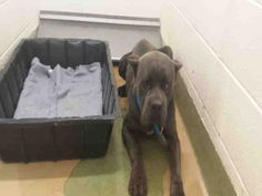 URGENT ID#A450161  I am described as a male, blu brindl and brown Cane Corso mix.  The shelter thinks I am about 3 years old.  I have been at the shelter since May 30, 2015 and I am available for adoption now! at Moreno Valley, CA Animal Services