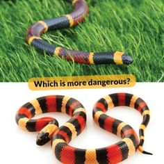 """How to Identify Venomous Snakes in the Wild or at Home / """"Red on yellow, killer fellow; red on black, safe from attack."""" """"Red next to black is a friend of Jack. Red next to yellow can kill a fellow."""