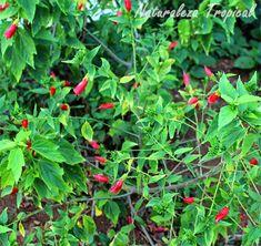 Arbusto Malvaviscus penduliflorus