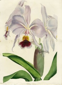 Botanical Prints from Paxton