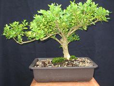 Boxwood Bonsai Bonsai Tree Bonsai Plant by BucksCountyBonsai, $120.00