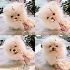 Ughhhhh so great #Pomeranian