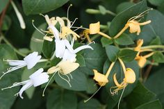 Buy Japanese honeysuckle Lonicera japonica 'Halls Prolific': Delivery by Crocus