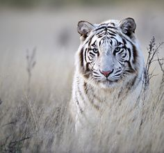 ~~Tiger in White by Bridgena Barnard~~