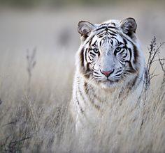 """""""Tiger in White"""" by Bridgena Barnard, via 500px."""