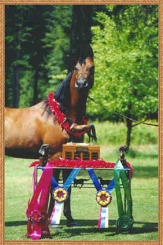 The year Echquisite was Region 5 Champion Arabian Mare and I won the AOTH Class!