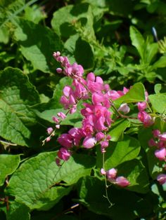 Pink Rose of Montana, Coral Vine, Pink Coral Vine, Antigonon leptopus, Rose of Montana, Antigonon leptopus