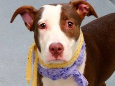 Manhattan Center   STORM - A1015405  FEMALE, BROWN / WHITE, PIT BULL MIX, 10 mos OWNER SUR - EVALUATE, NO HOLD Reason PERS PROB  Intake condition EXAM REQ Intake Date 09/26/2014, From NY 10459, DueOut Date 09/26/2014,   https://www.facebook.com/Urgentdeathrowdogs/photos/a.617938651552351.1073741868.152876678058553/877440162268864/?type=3&theater
