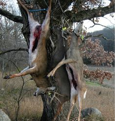 Thinking of sending that deer to a processor? Here are five reasons to butcher deer yourself for the best venison possible. Butchering deer is rewarding.