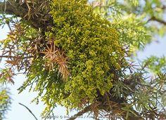 A Juniper Dwarf Mistletoe, Arceuthobium oxycedri, - a semi-parasite on Juniper. Turkey
