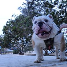 """Guapetón!!!!♥️ #ezydoguk #ezydog #harness @ezydoguk @ezydog #capo"" Photo taken by @capo.bulldogvzla on Instagram, pinned via the InstaPin iOS App! http://www.instapinapp.com (04/14/2015)"