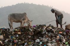 Old Man And A Cow Scavenging In A Huge Rubbish Dump Guwahati Assam India Stock Photo 160458911