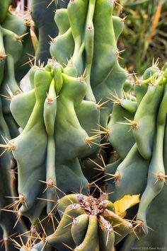 Cereus Peruvianus Apple Night Bloom Montrose Cactus